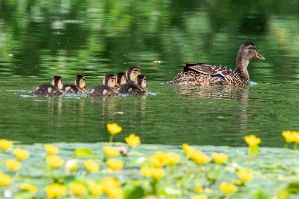Mallard and six ducklings, Prospect Park