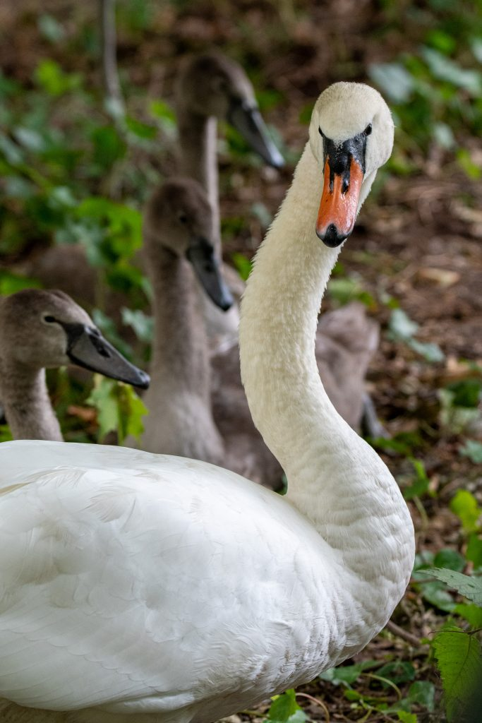 Mute swan and cygnets, Prospect Park