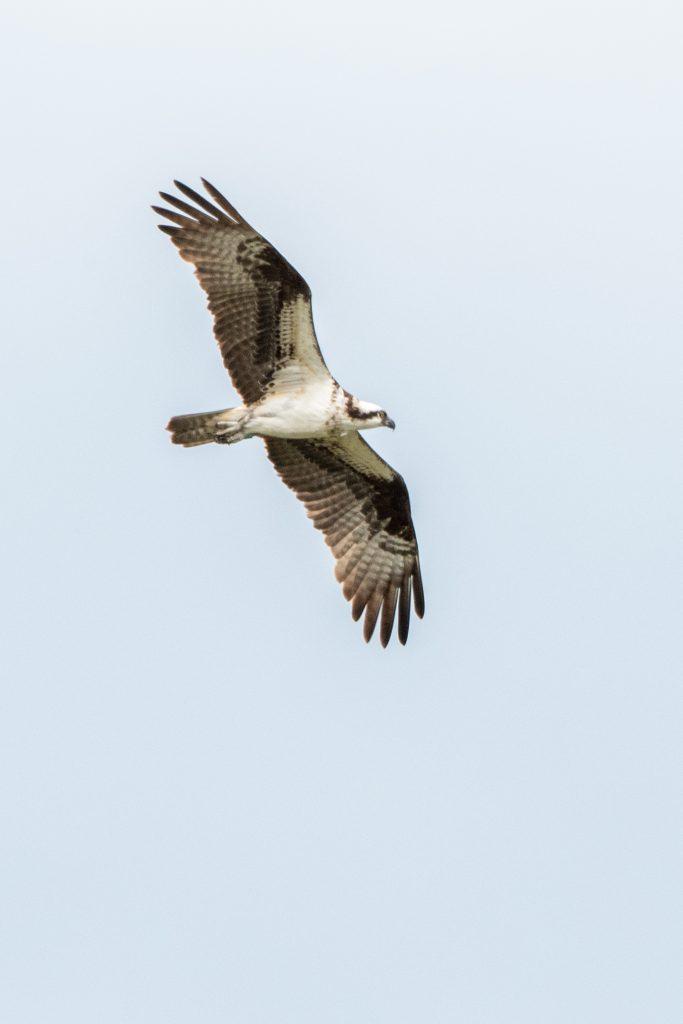 Osprey, Matrix Global Logistics Park, Staten Island