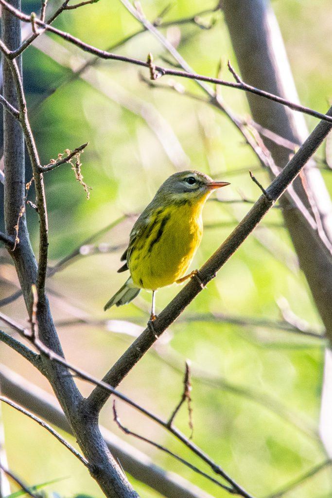 Prairie warbler, Prospect Park