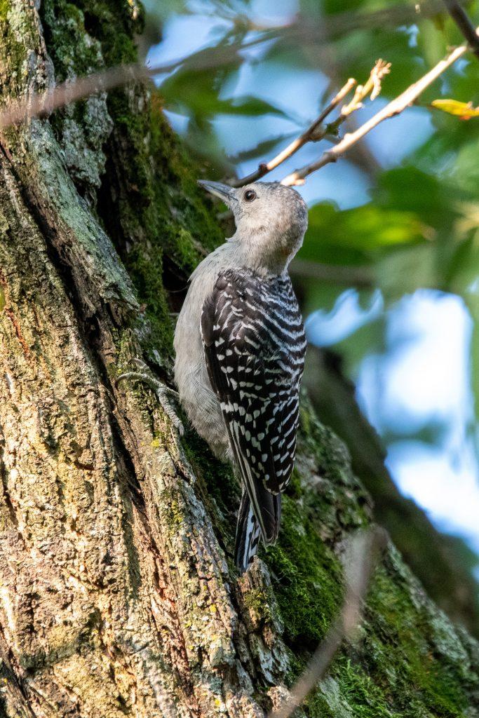 Red-bellied woodpecker (juvenile female), Prospect Park