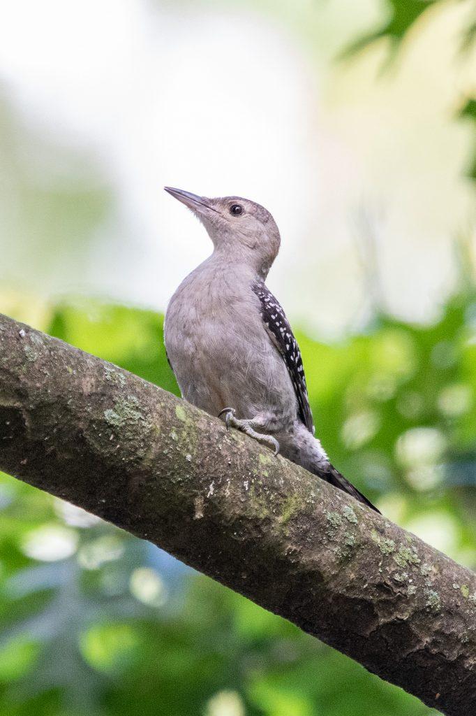 Red-bellied woodpecker, Prospect Park