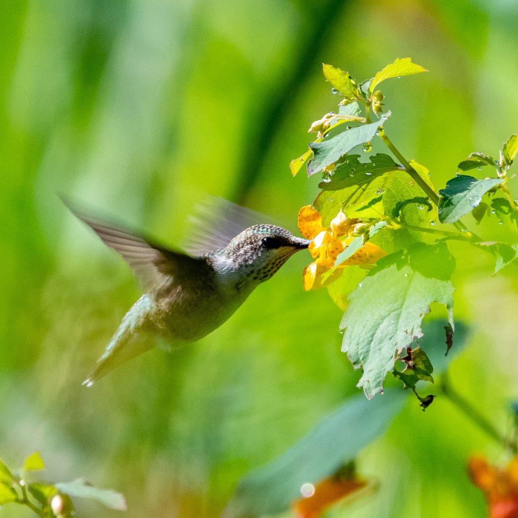Ruby-throated hummingbird, Kirkside Park, Roxbury, NY