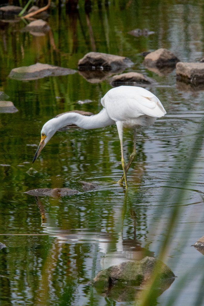 Snowy egret, Matrix Global Logistics Park, Staten Island
