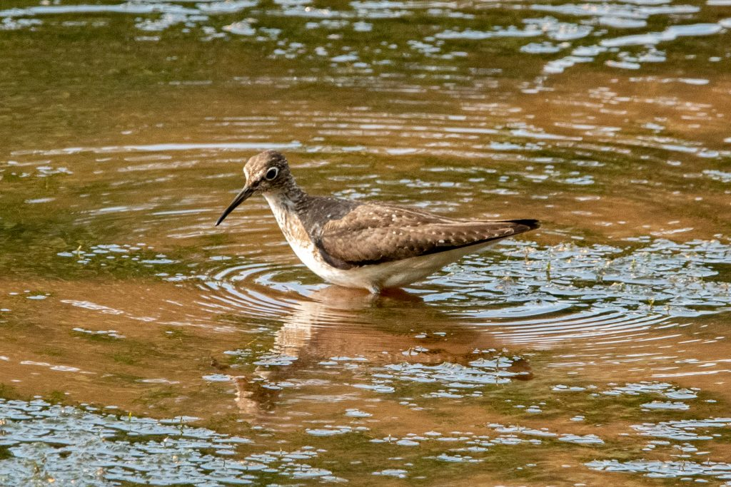 Solitary sandpiper, Wawaka Lake, Halcottsville, NY