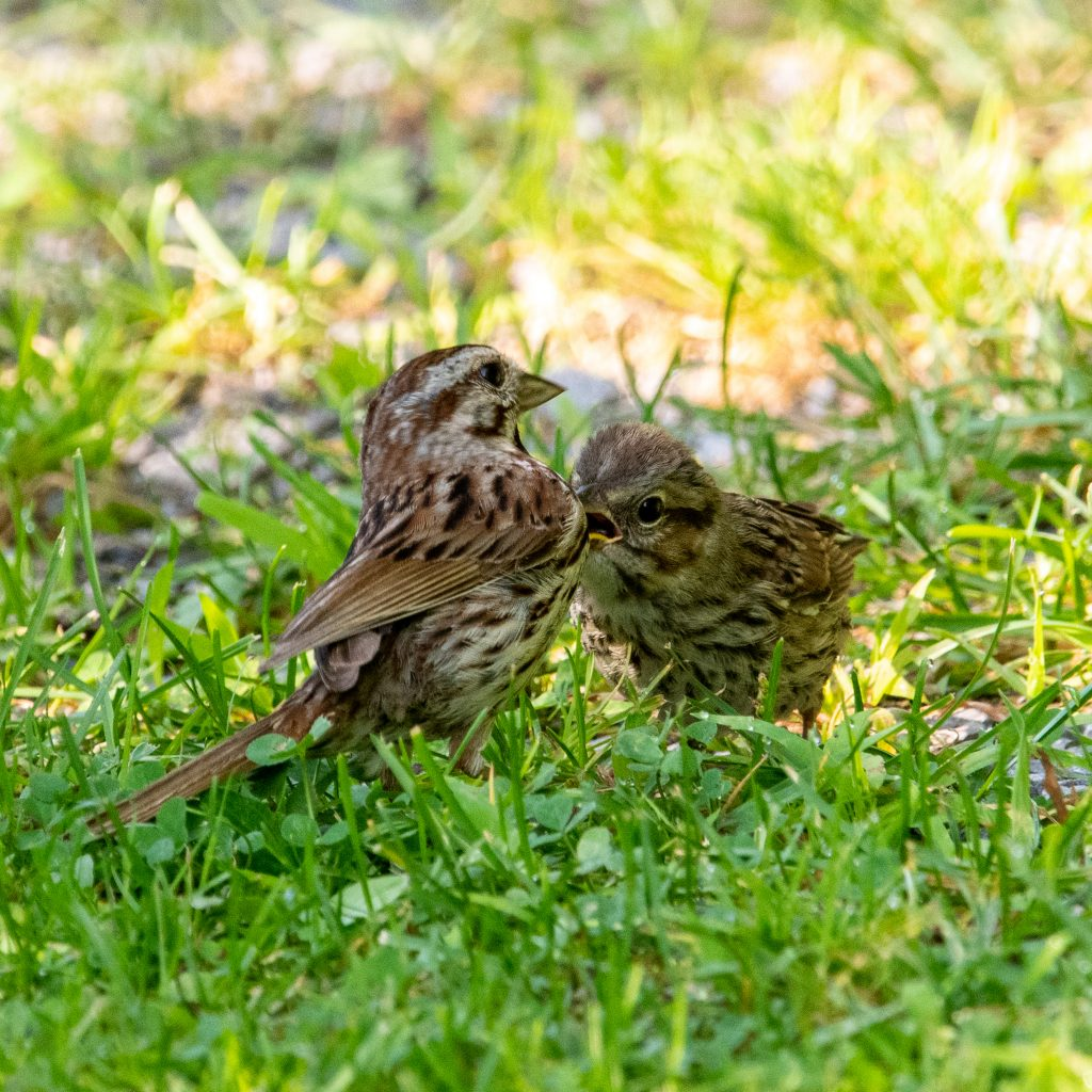 Song sparrows (parent and fledgling), Roxbury, NY
