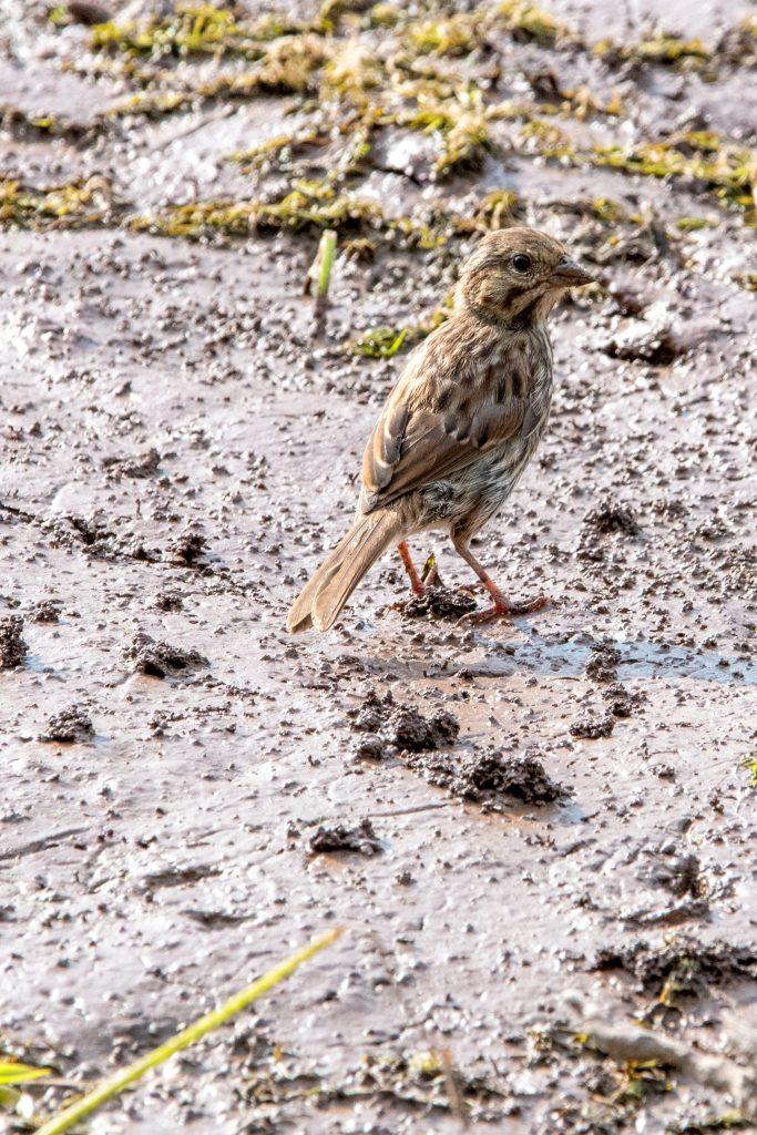 Song sparrow, Wawaka Lake, Halcottsville, NY