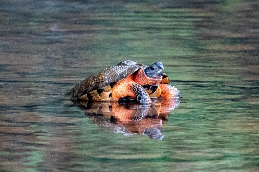 Turtle, Halcottsville, NY