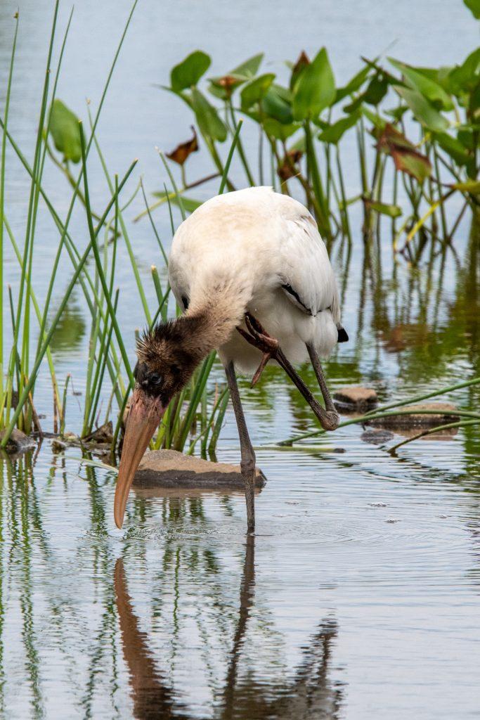 Wood stork (juvenile), Matrtix Global Logistics Park, Staten Island