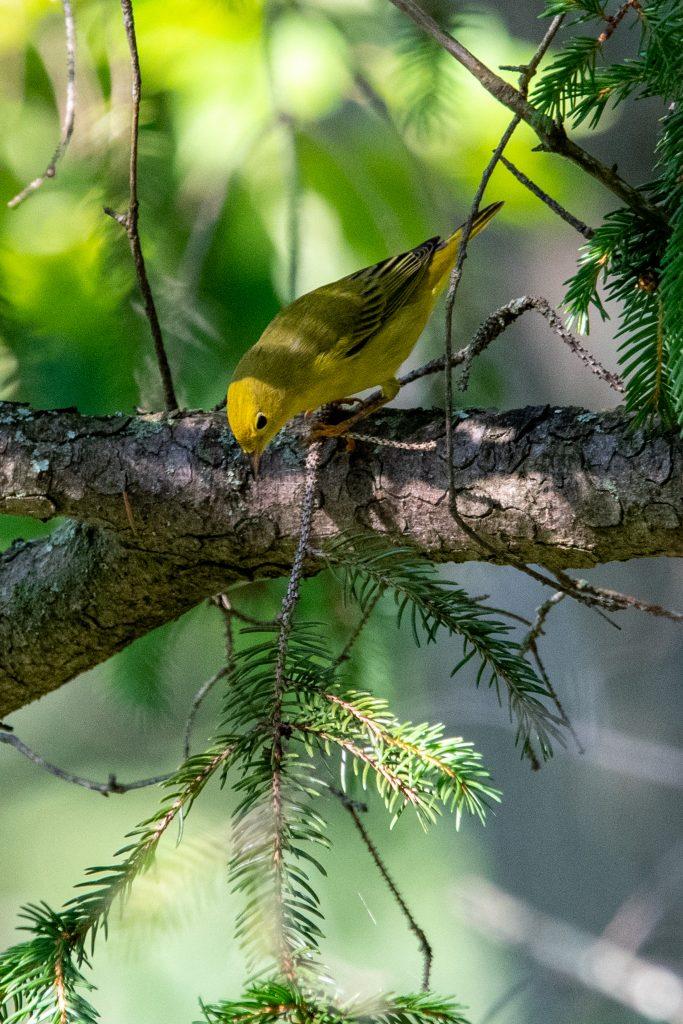 Yellow warbler, Kirkside Park, Roxbury, NY