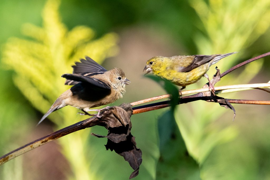 American goldfinches, Prospect Park