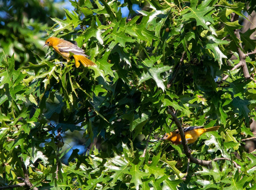 Baltimore oriole pair, Prospect Park