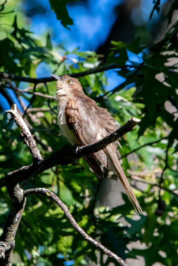 Black-billed cuckoo (juvenile), Prospect Park