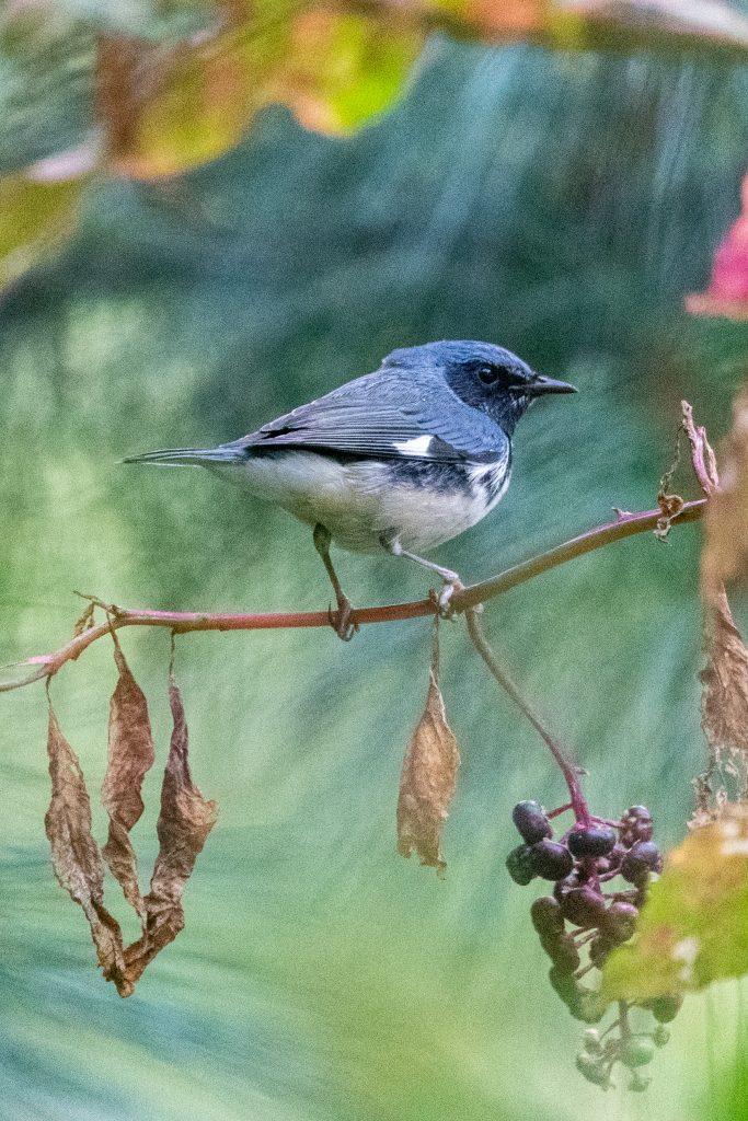 Black-throated blue warbler (male), Prospect Park
