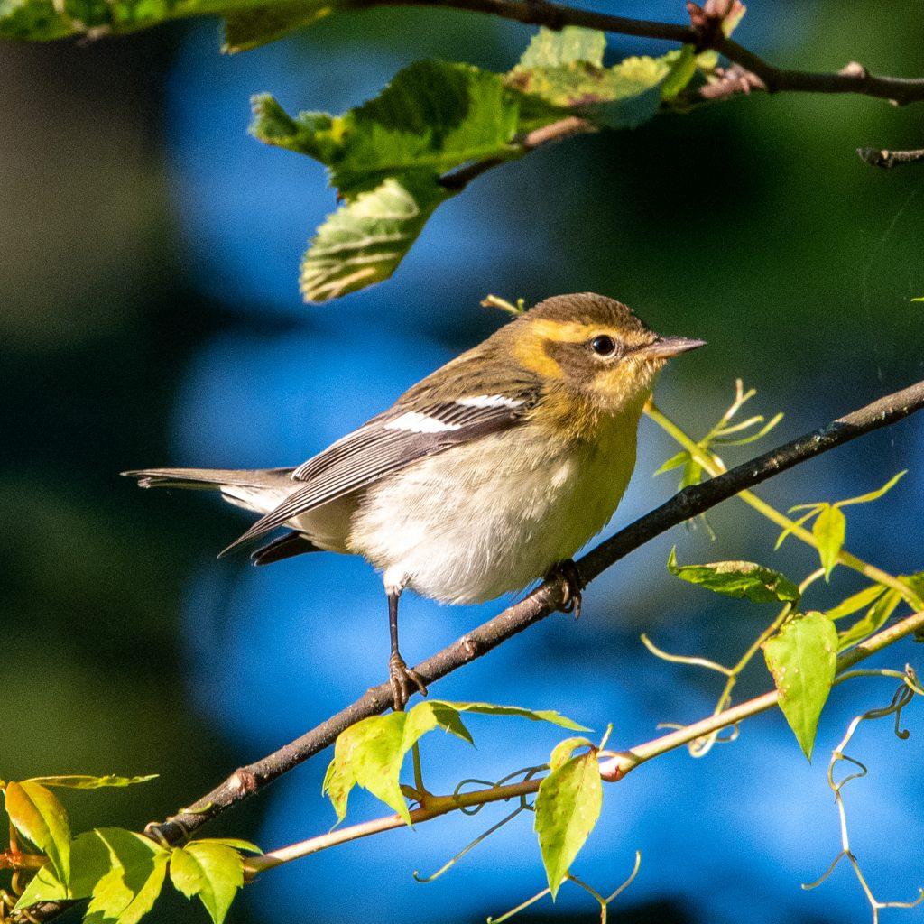 Blackburnian warbler, Prospect Park