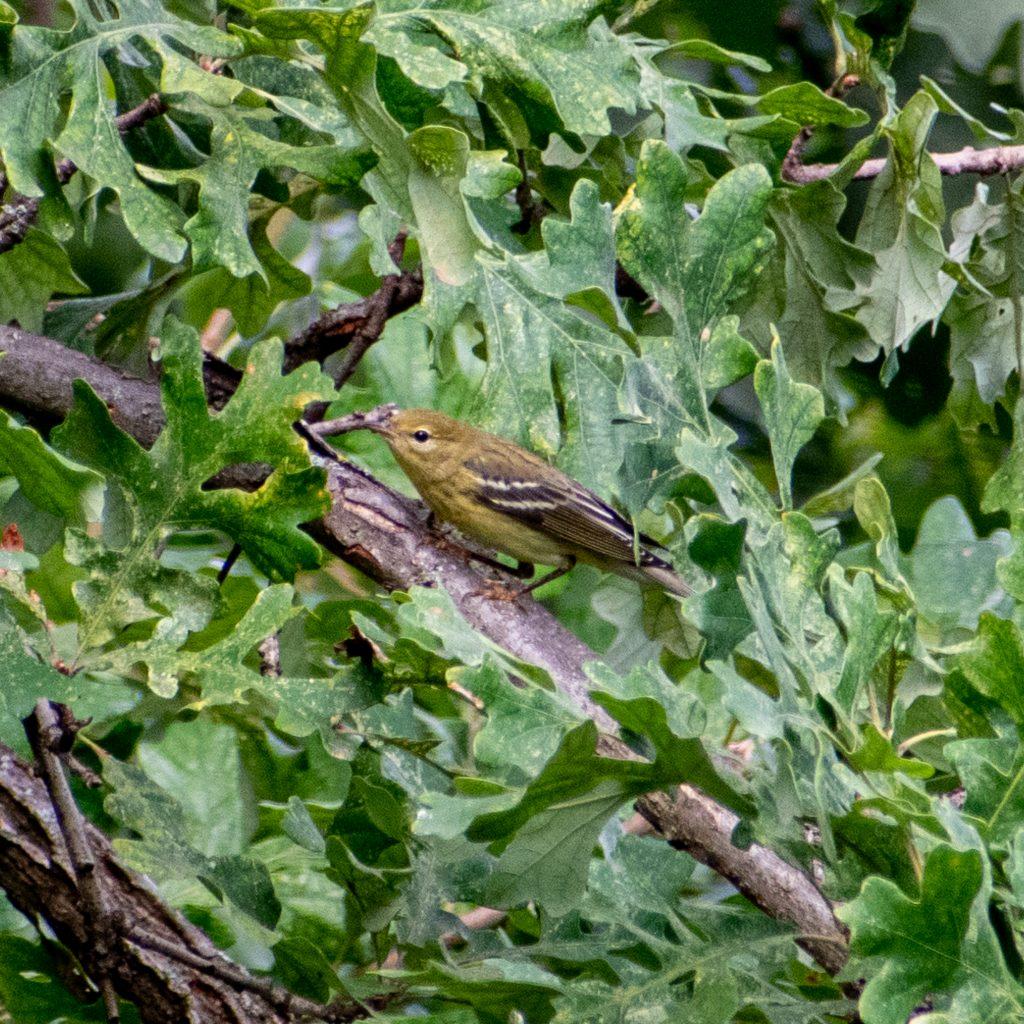 Blackpoll warbler, Jarvis Bird Sanctuary, Chicago