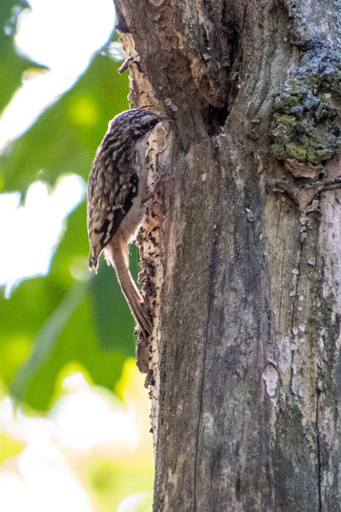Brown creeper, Montrose Point, Chicago