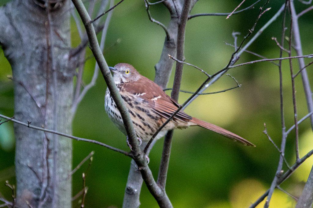 Brown thrasher, Prospect Park