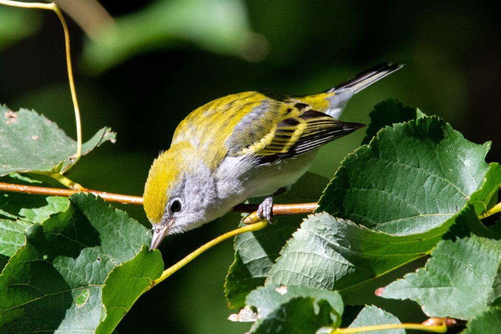 Chestnut-sided warbler (drab), Prospect Park