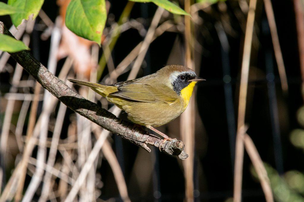 Common yellowthroat (male), Prospect Park