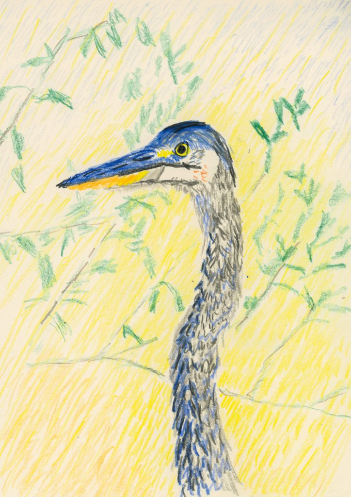 Great blue heron (a drawing)