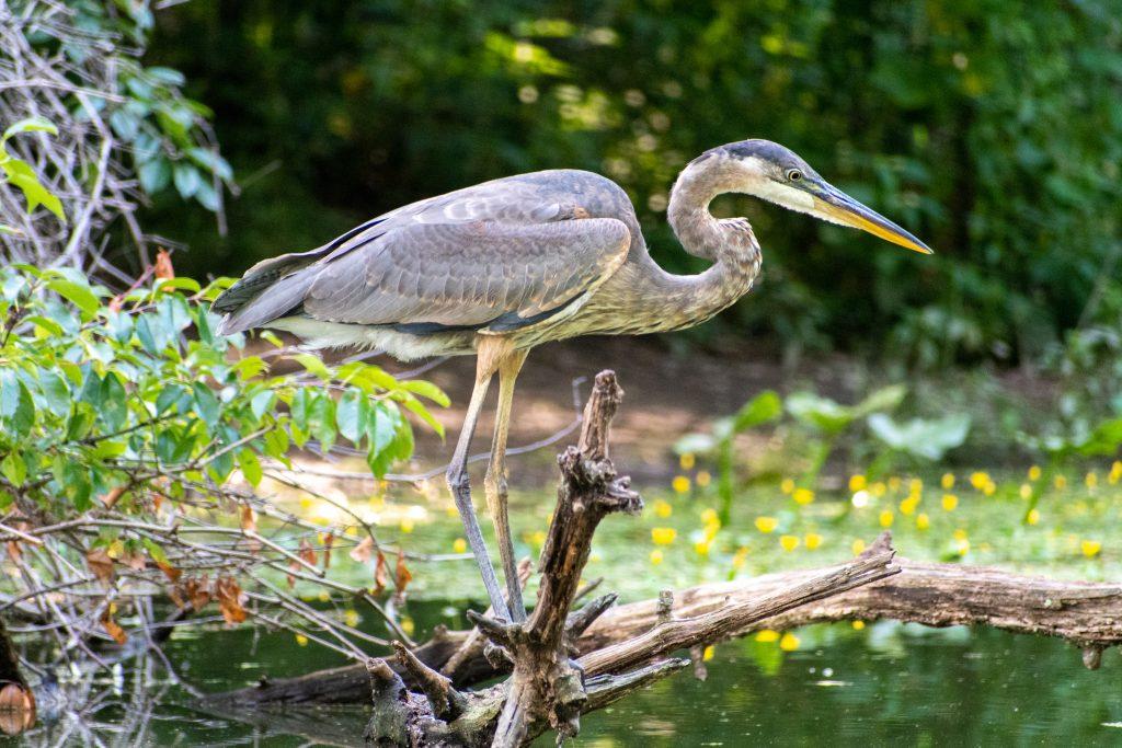 Great blue heron, Prospect Park