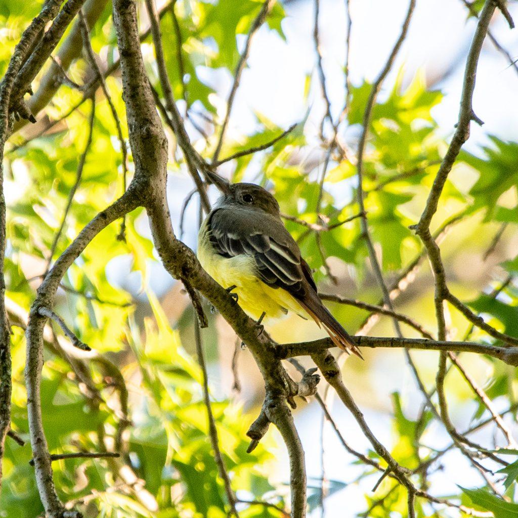 Great crested flycatcher, Prospect Park