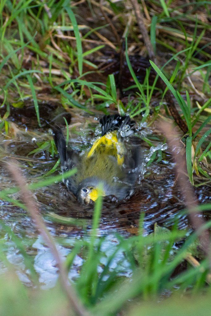 Magnolia warbler, bathing, Montrose Point, Chicago