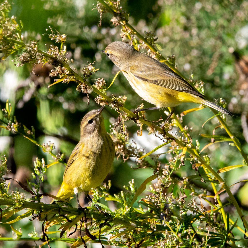 Palm warbler (drab), pair, Prospect Park