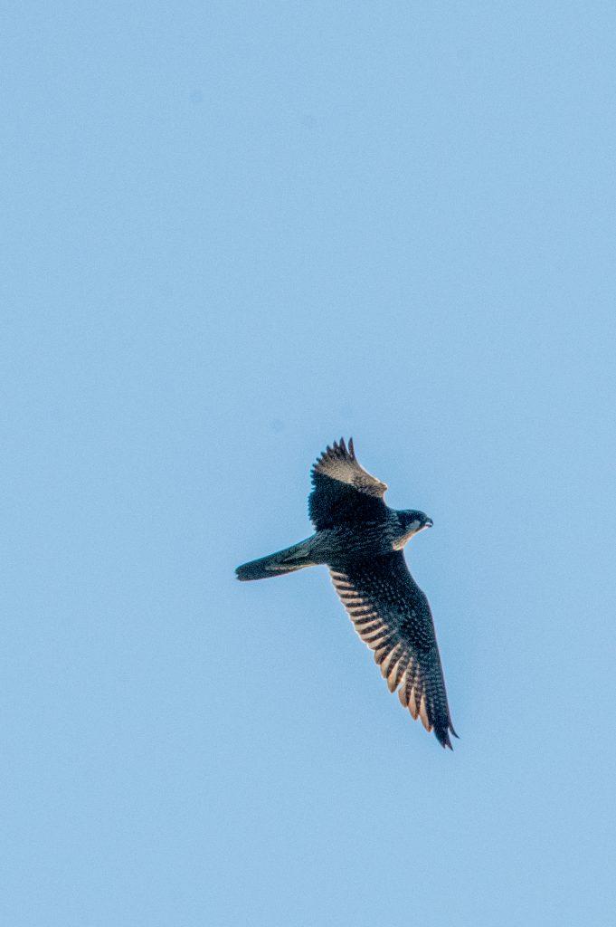 Peregrine falcon, Prospect Park