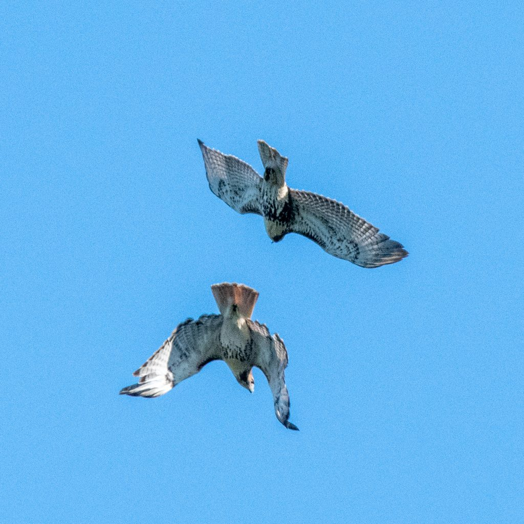 Red-tailed hawks, Prospect Park