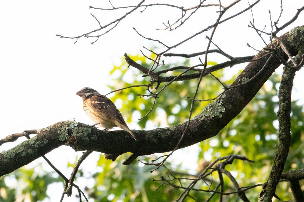 Rose-breasted grosbeak (female), Prospect Park