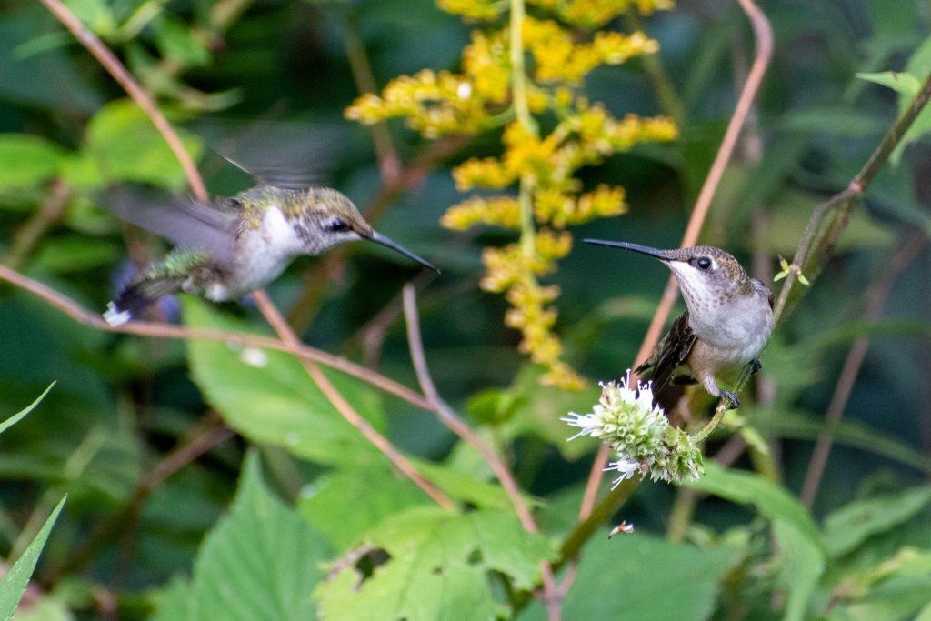 Ruby-throated hummingbirds, Jarvis Bird Sanctuary, Chicago