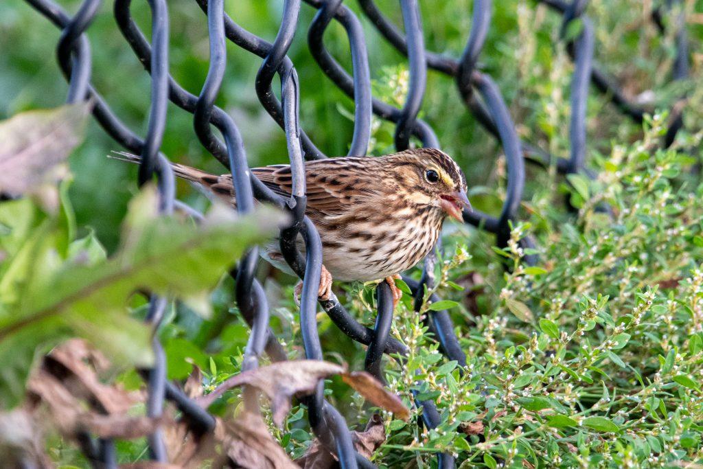 Savannah sparrow, Prospect Park