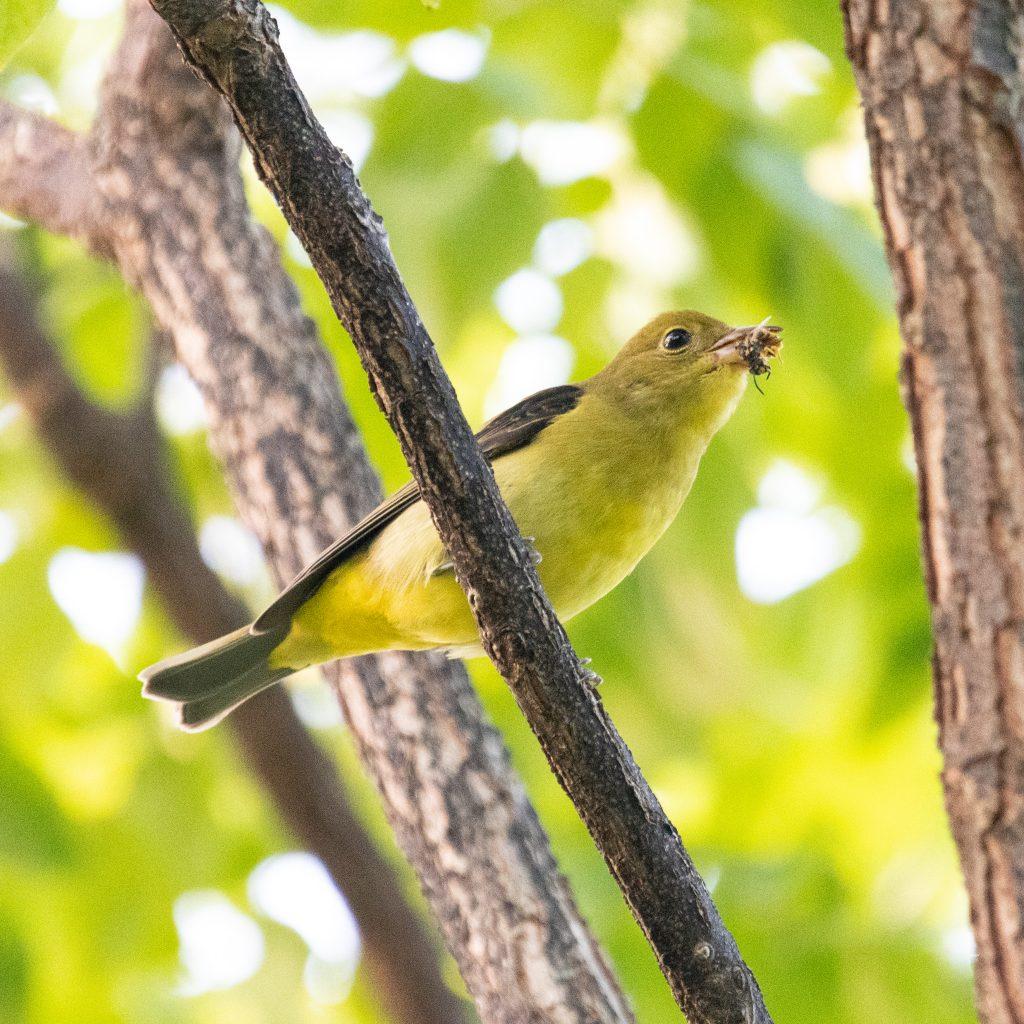 Scarlet tanager (female), Prospect Park