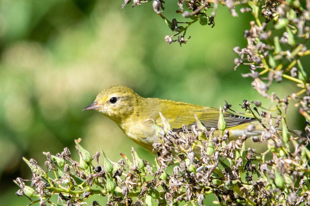 Tennessee warbler, Prospect Park
