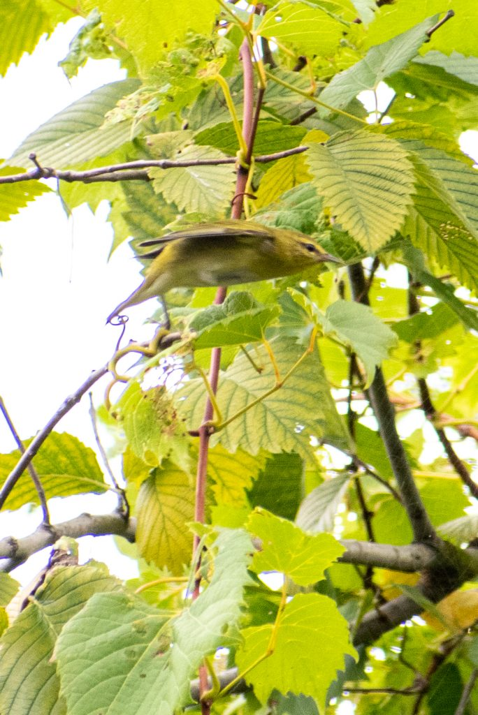 Tennessee warbler, Jarvis Bird Sanctuary, Chicago