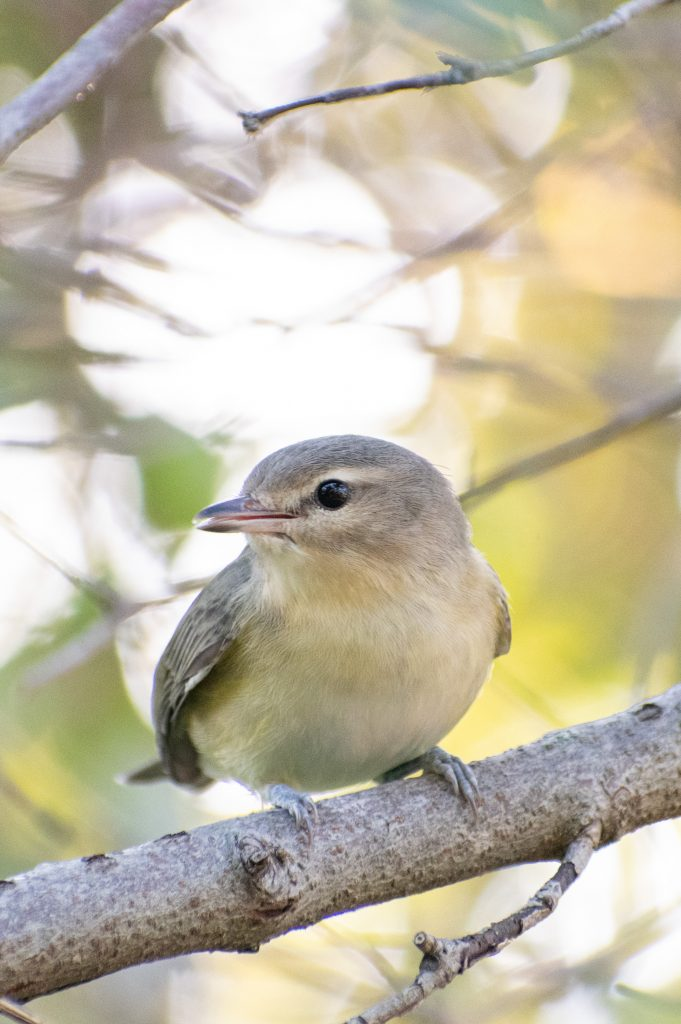 Warbling vireo, Montrose Point, Chicago