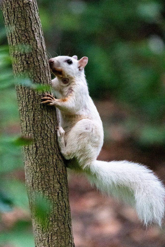 White squirrel (leukistic), Prospect Park