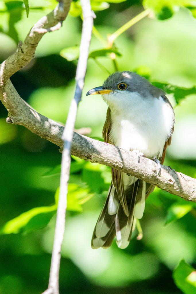 Yellow-billed cuckoo (juvenile), Prospect Park