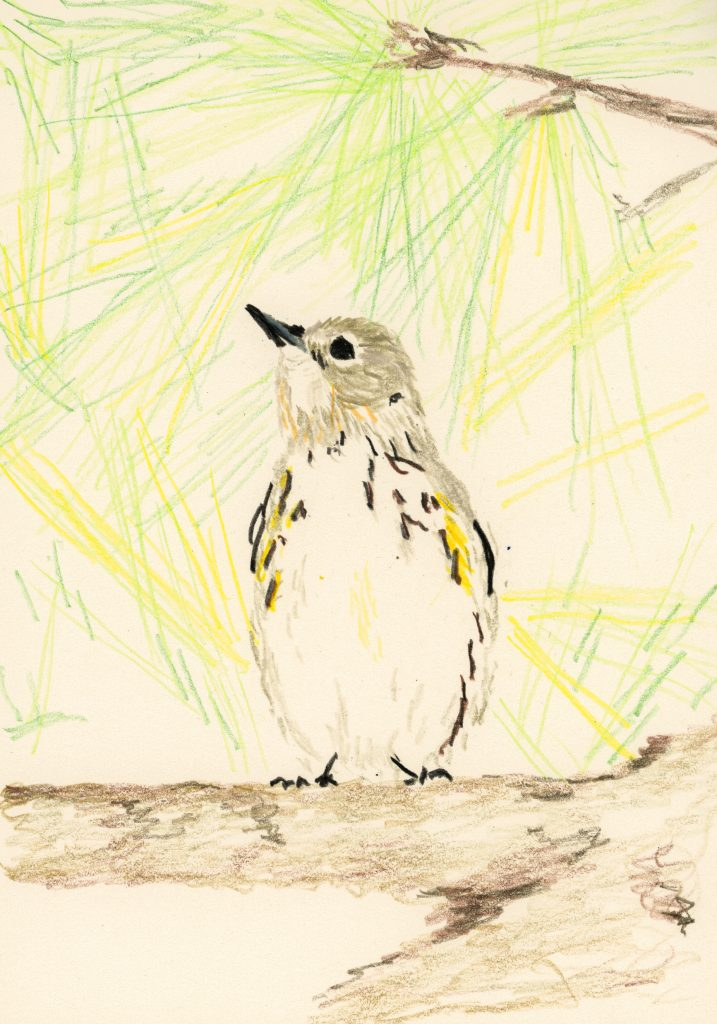 Yellow-rumped warbler (a drawing)
