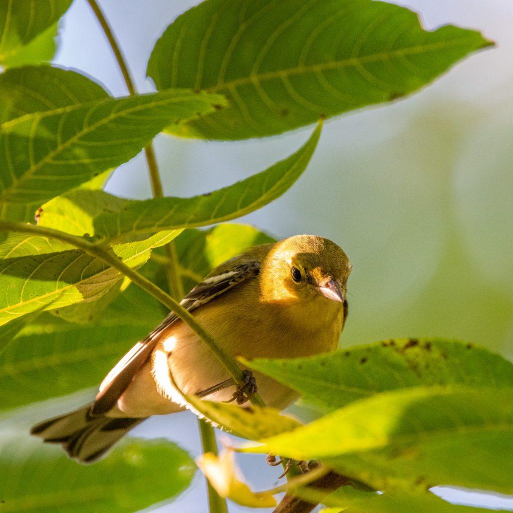 Bay-breasted warbler (drab), Prospect Park