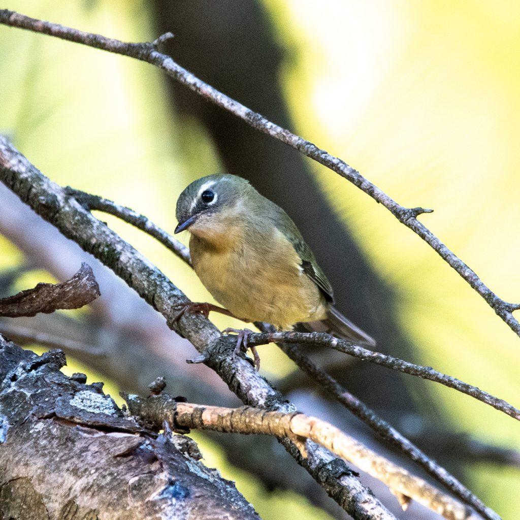 Black-throated blue warbler (female), Greenwood Cemetery