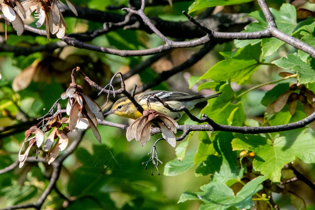 Blackburnian warbler (drab), Greenwood Cemetery