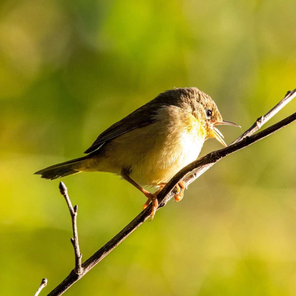 Common yellowthroat (female), Prospect Park
