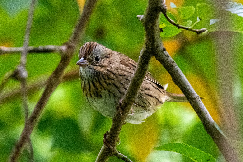 Lincoln's sparrow, Prospect Park