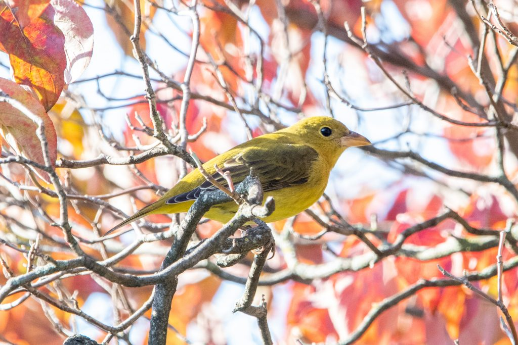 Scarlet tanager (first-year female), Greenwood Cemetery