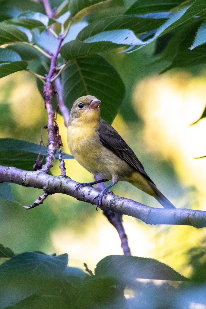Scarlet tanager (nonbreeding male), Greenwood Cemetery
