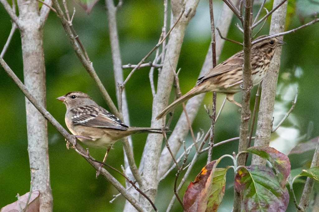 White-crowned sparrow and song sparrow, Greenwood Cemetery